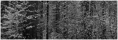 Forest with dogwood and flowers. Yosemite National Park (Panoramic black and white)