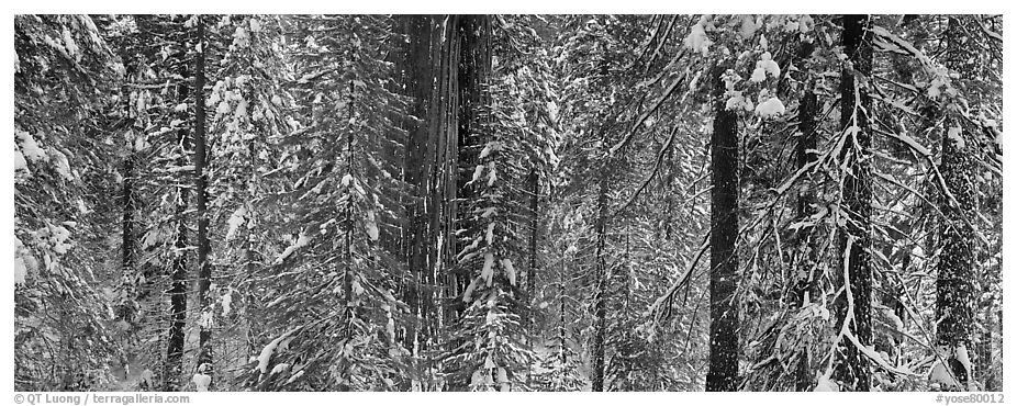 Tuolumne Grove in winter, mixed forest with snow. Yosemite National Park (black and white)