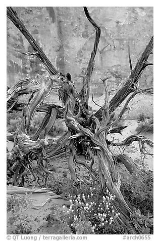 Wildflowers, Twisted tree, and sandstone wall, Devil's Garden. Arches National Park (black and white)