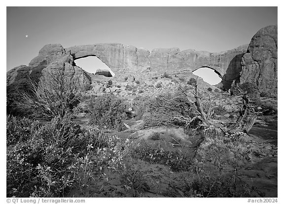 Wildflowers, South window and North window, sunrise. Arches National Park (black and white)