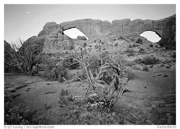 Wildflowers, dwarf tree, and Windows at sunrise. Arches National Park (black and white)