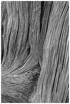 Detail of juniper bark. Arches National Park ( black and white)