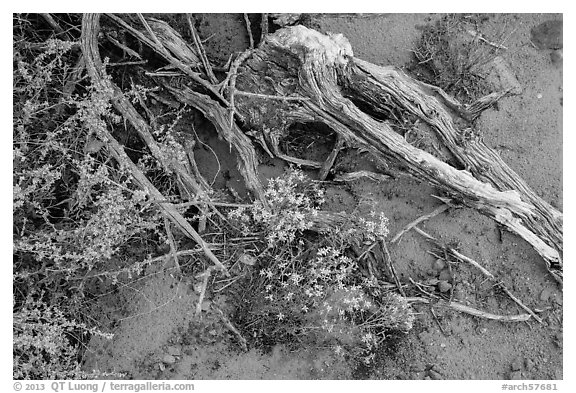 Ground close-up with wildflowers, roots, and rain marks in sand. Arches National Park (black and white)