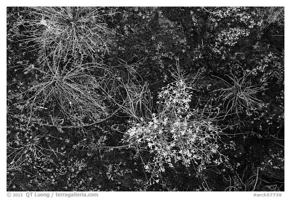 Ground view: wildflowers and mosses, Courthouse Wash. Arches National Park (black and white)