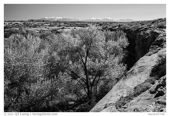 Cottonwood trees, Courthouse Wash rim, and La Sal mountains. Arches National Park (black and white)