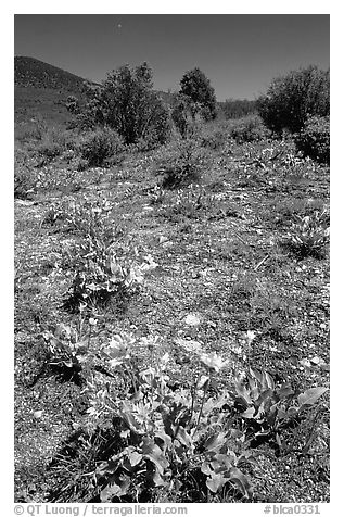 Wildflowers on mesa inclinado. Black Canyon of the Gunnison National Park (black and white)