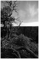 Gnarled trees at sunset, North rim. Black Canyon of the Gunnison National Park ( black and white)