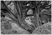 Juniper trees. Black Canyon of the Gunnison National Park, Colorado, USA. (black and white)