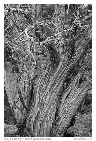 Textured juniper tree. Black Canyon of the Gunnison National Park (black and white)