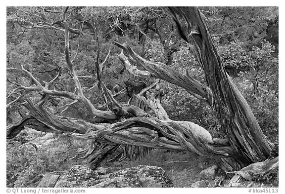 Twisted juniper trees. Black Canyon of the Gunnison National Park (black and white)