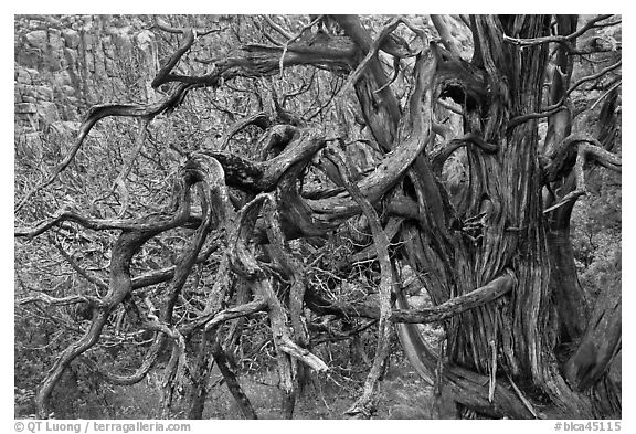 Twisted branches and tree. Black Canyon of the Gunnison National Park (black and white)