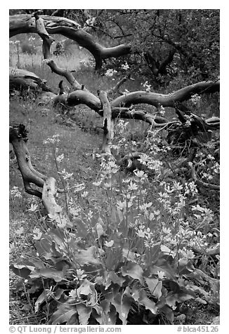 Flowers and fallen branches, High Point. Black Canyon of the Gunnison National Park (black and white)