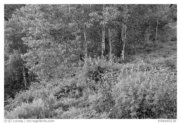 Lupine and aspen trees. Black Canyon of the Gunnison National Park (black and white)