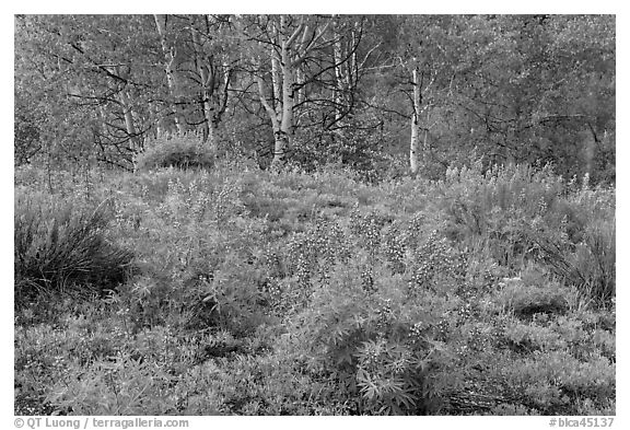 Spring flowers and forest. Black Canyon of the Gunnison National Park (black and white)