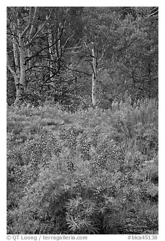 Lupine and aspens in the spring. Black Canyon of the Gunnison National Park (black and white)