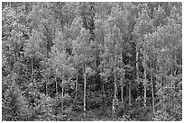 Aspens with spring new leaves. Black Canyon of the Gunnison National Park, Colorado, USA. (black and white)