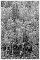 Spring green aspens on hillside. Black Canyon of the Gunnison National Park, Colorado, USA. (black and white)