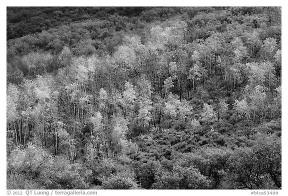 Aspen on hills in autumn, East Portal. Black Canyon of the Gunnison National Park (black and white)