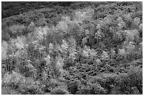 Aspen on hills in autumn, East Portal. Black Canyon of the Gunnison National Park ( black and white)
