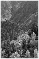 Trees in autumn foliage and canyon. Black Canyon of the Gunnison National Park ( black and white)