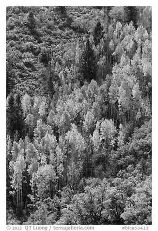 Yellow aspen on steep slope. Black Canyon of the Gunnison National Park (black and white)