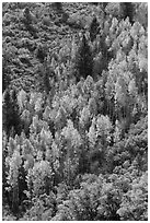 Yellow aspen on steep slope. Black Canyon of the Gunnison National Park, Colorado, USA. (black and white)