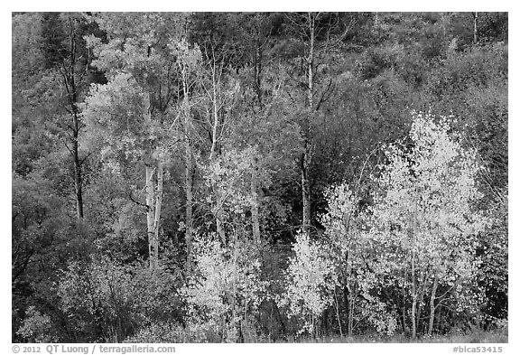 Trees in fall foliage, East Portal. Black Canyon of the Gunnison National Park (black and white)
