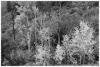Trees in fall foliage, East Portal. Black Canyon of the Gunnison National Park, Colorado, USA. (black and white)