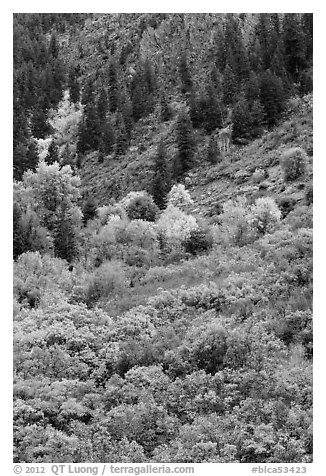 Slopes with Douglas fir and shrubs. Black Canyon of the Gunnison National Park (black and white)