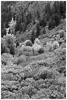 Slopes with Douglas fir and shrubs. Black Canyon of the Gunnison National Park ( black and white)