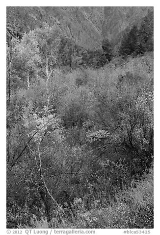 Shrubs and trees in autumn color. Black Canyon of the Gunnison National Park (black and white)