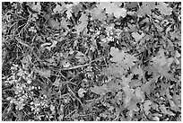 Close-up of Oak leaves in autumn. Black Canyon of the Gunnison National Park ( black and white)