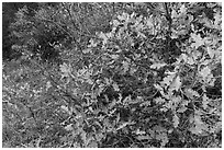 Gambel Oak thicket in the fall. Black Canyon of the Gunnison National Park, Colorado, USA. (black and white)
