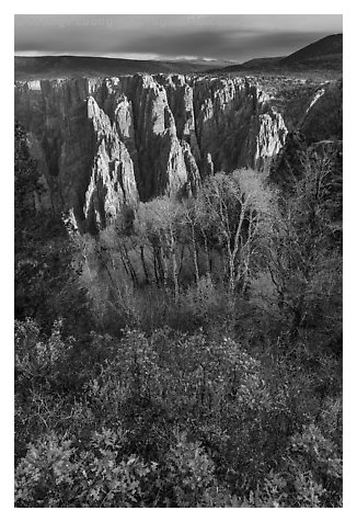 Gambel Oak, aspen and canyon in autumn. Black Canyon of the Gunnison National Park (black and white)