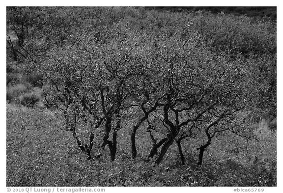 Gambel Oak trees in autumn. Black Canyon of the Gunnison National Park (black and white)