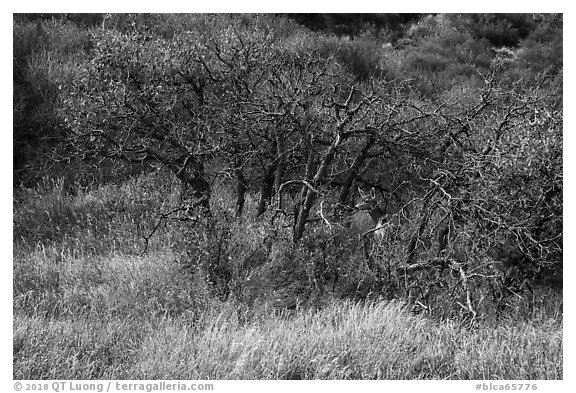 Deer and Gambel Oak trees in autumn. Black Canyon of the Gunnison National Park (black and white)