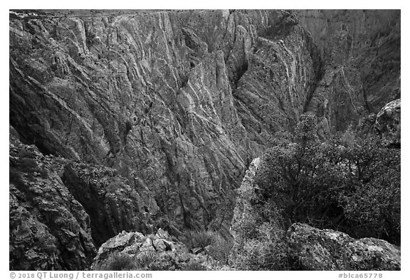 Serviceberries in fall foliage on the edge of canyon, Cross Fissures. Black Canyon of the Gunnison National Park (black and white)