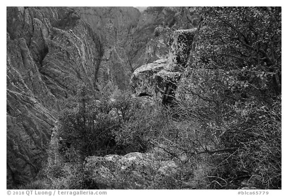 Oak and serviceberries at canyon's edge, Cross Fissures. Black Canyon of the Gunnison National Park (black and white)