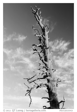 Bristlecone pine tree top. Bryce Canyon National Park (black and white)
