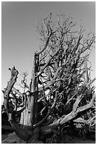 Bristlecone pine trees with many branches. Bryce Canyon National Park ( black and white)