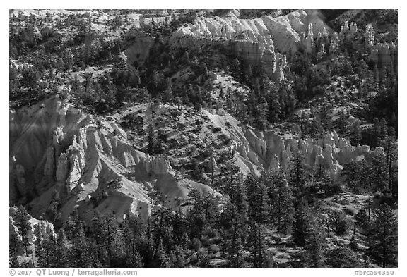 Conifers and pink rocks. Bryce Canyon National Park (black and white)
