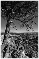 Pine tree with exposed roots framing Bryce Amphitheater, Inspiration Point. Bryce Canyon National Park ( black and white)