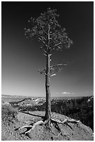 Pine tree with exposed roots on rim. Bryce Canyon National Park ( black and white)