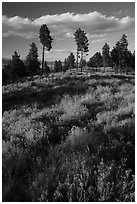 Grasses and pine trees in late summer. Bryce Canyon National Park ( black and white)