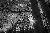 Sunstar through aspens in autumn foliage. Bryce Canyon National Park ( black and white)