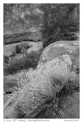 Blooming sage and rock walls in the Maze. Canyonlands National Park (black and white)