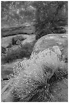 Blooming sage and rock walls in the Maze. Canyonlands National Park, Utah, USA. (black and white)