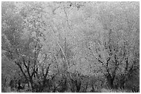 Cottonwood trees with various stage of fall foliage, Horseshoe Canyon. Canyonlands National Park, Utah, USA. (black and white)