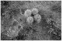 Ground close-up, cactus and wildflowers, Maze District. Canyonlands National Park, Utah, USA. (black and white)