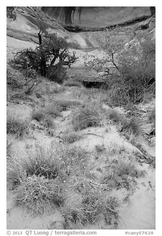 Wildflowers, trees, and canyon walls. Canyonlands National Park (black and white)